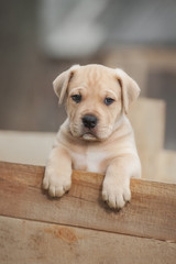 American staffordshire terrier puppy sitting in a box
