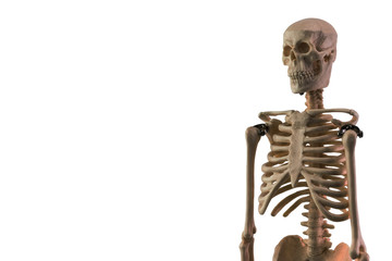 White skeleton model isolated on white background
