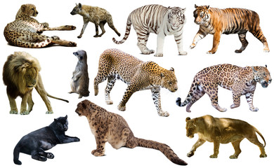 Set of African predators isolated over white