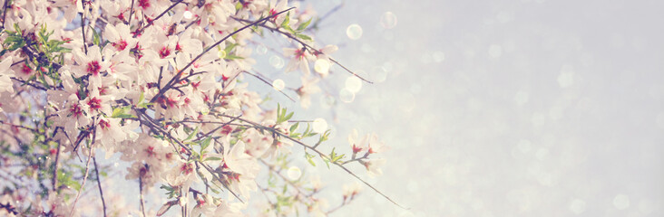 website banner background of of spring white cherry blossoms tree. selective focus.
