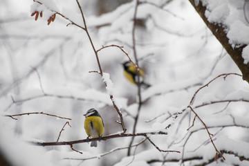 A little bird chickadee sitting on a branch