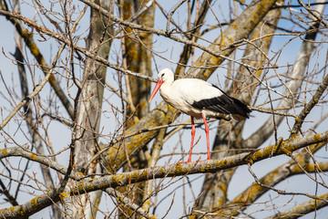 Cigüeña blanca posada en un chopo. Ciconia ciconia.
