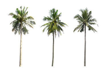 collection Three Palm coconut the garden isolated on white background.