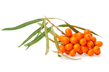 small twig of sea buckthorn berries with green leaves is isolated on white background