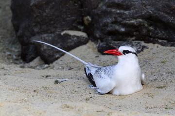 A Red-billed Tropic Bird, Phaethon aethereus, resting on a sandy beach, Galapagos Islands