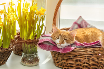 Morning spring sunlight on the sleeping red cat.
