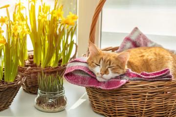 Morning spring sunlight on the sleeping red cat.