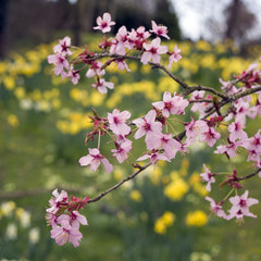 Pink spring tree blossom with blurred daffodils beyond
