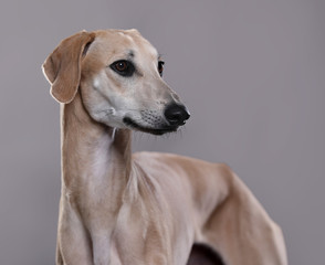 dog sloughi , Arabian Greyhound