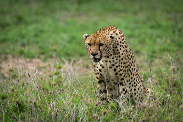 Cheetah with lowered head staring over grassland