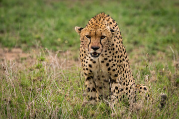 Cheetah sitting in tall grass looking down