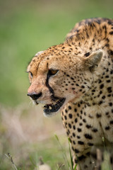 Cheetah standing in grass with mouth open