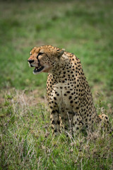 Cheetah sitting in grass with mouth open