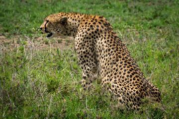 Cheetah sitting in grass staring over grassland