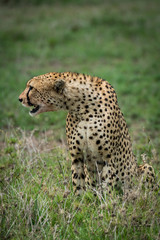 Cheetah sitting and leaning sideways on grassland