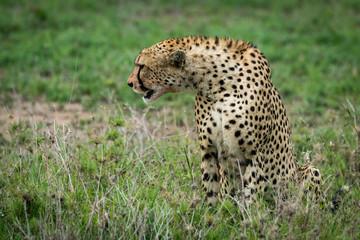 Cheetah sitting and stretching sideways on grassland
