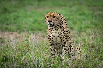 Cheetah sits staring ahead on lush grassland