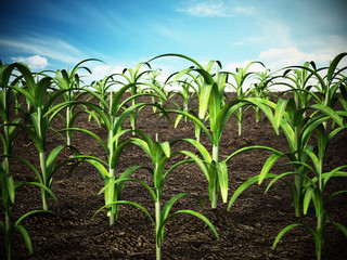 Corn field. Depth of field effect. 3D illustration