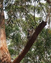 Koala Baby | Junges klettert im Baum in Australien