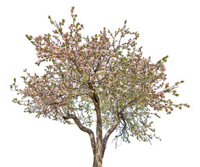 isolated pink blooming large old apple tree