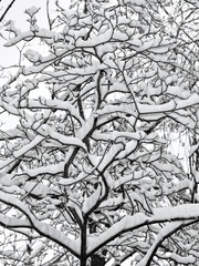 Tree in the snow. After a heavy snowfall. A lot of snow on the branches of the tree. Cloudy weather. Graphic photography. Style of black and white photography.