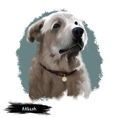 Akbash dog digital art illustration isolated on white background. Livestock guardian shepherd dog. National dog breeds of Turkey. Cute puppy in collar with metal, pedigree canine,champion breed