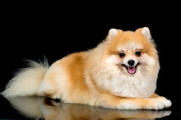 Pomerania Dog Portrait isolated on black