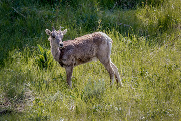 Big Horn Sheep Baby -Yellowstone National Park