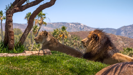 Lions laying in the Sun