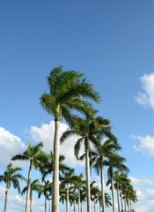 Row of beautiful palm trees on blue sky. Boca Raton Florida, USA.