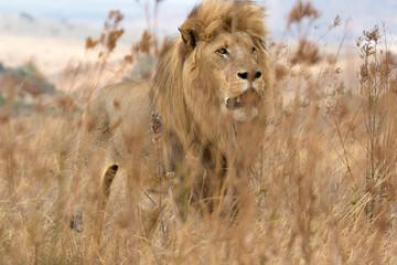 Fotobehang Afrika Lion behind grass