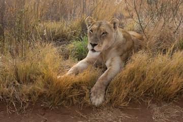 Lioness having rest kruger national Park
