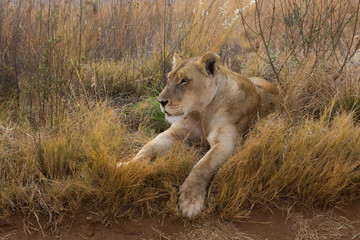 Lioness having rest