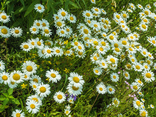 Lots of white beautiful wild daisies on a green meadow in spring