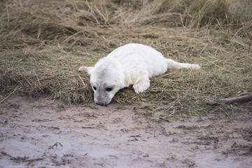 Grey Seal Pup at Donna Nook.