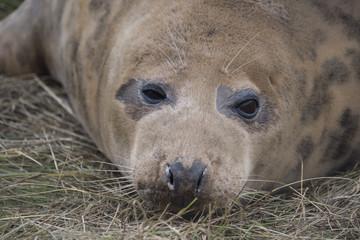 Grey Seal  at Donna Nook.