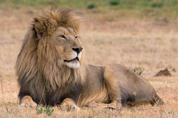 beautiful lion kruger national park