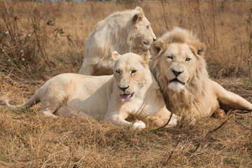 bunch of white lions