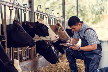 Farmers are recording details of each cow on the farm.