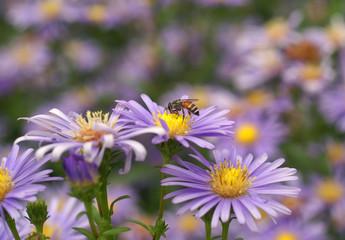flower, nature, garden, daisy, summer, plant, purple, flowers, blossom, spring, bloom, beauty, aster, pink, green, petal, floral, flora, yellow, field, blue, macro, meadow, autumn, violet