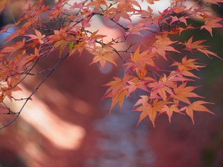soft focus of red maple leaves on blur red leaves in the autumn background