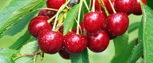 Cherry berries on a tree branch close up.