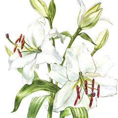 Watercolor set of white lilies, hand drawn botanical illustration of flowers isolated on a white background.