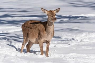 Female red deer in a snowy field