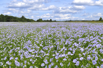 A field of blooming flax (Linum perenne)