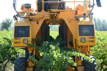 grapes harvesting mechanical machine vehicle in a vineyard during harvest wine season