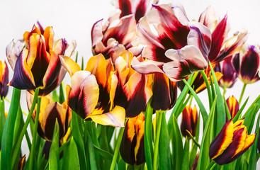 red, yellow, orange and purple tulips tulips