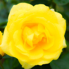 Japan landscape photography バラの花 クローズアップGood luck  Roses close-up