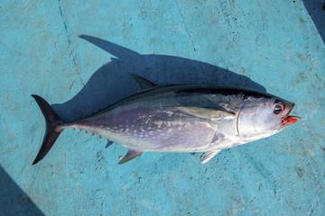 full body of tuna fish on blue wood of fishing boat