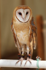 A beautiful Common Barn Owl Portrait / Bird Photography